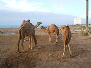 So many camels to choose from!