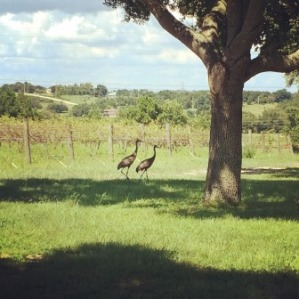 Some sandhill cranes touring the winery with us