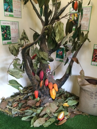 Did you know cacao grows in large pods on trees?