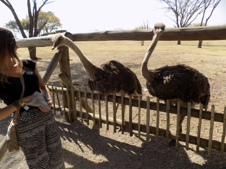 These ostriches were aggressive!
