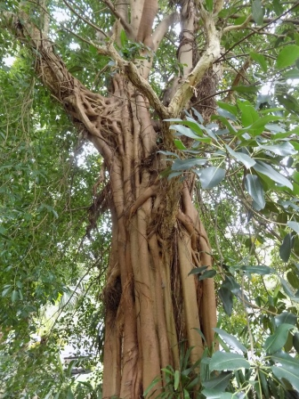 We also learned about strangler figs