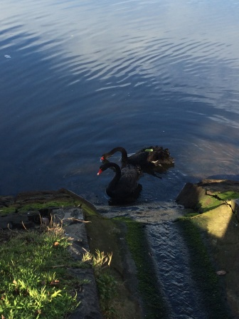 Black swans on the Yarra River