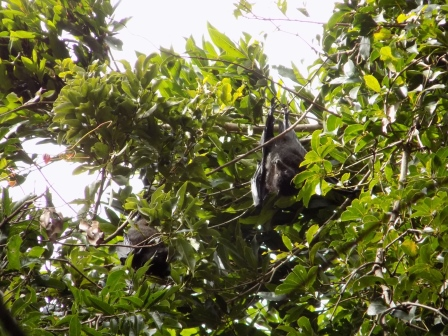 Flying fox bats sleeping in the trees