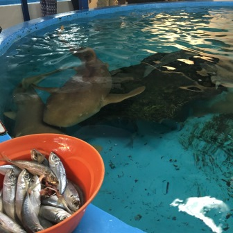 Lunchtime for the nurse sharks