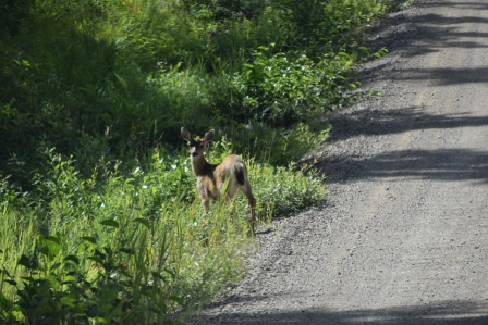 Black-tailed deer (Photo via Paul Sells, another person on our tour)