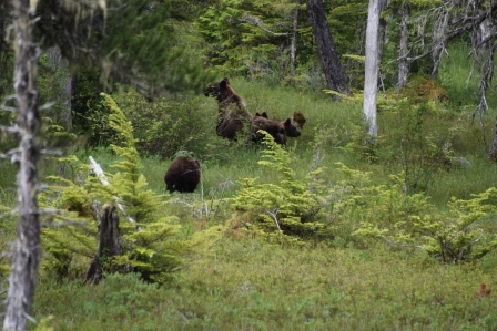 Mama coastal brown bear and cubs (Photo via Paul Sells, another person on our tour)