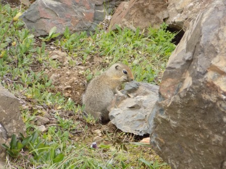 An arctic ground squirrel looking for snacks