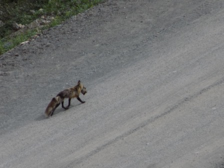 A fox carrying home dinner for his family
