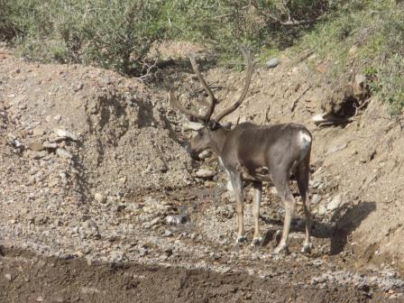 Another elk